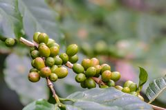 Coffee cherries on branch. Coffee cherries on branch with green background in North Thailand Royalty Free Stock Image