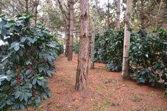 Coffee cherries or coffee berries. Coffee bean, coffee cherries or coffee berries on Arabica coffee tree Stock Image