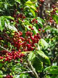 Coffee cherries on a coffee tree in boquete. Panama Stock Photos