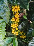 Coffee cherries on a coffee tree in boquete. Panama Royalty Free Stock Photography