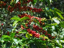 Coffee cherries on a coffee tree in boquete. Panama Royalty Free Stock Photos