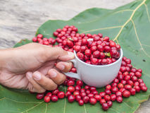 Coffee cherries Stock Photos