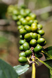 Coffee cherry Stock Image