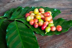 Coffee cherry beans royalty free stock photography