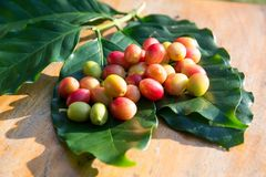 Coffee cherry beans stock images