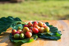 Coffee cherry beans royalty free stock images