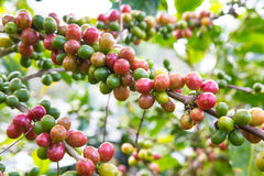Coffee cherry Royalty Free Stock Images