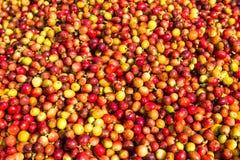 Coffee cherry Stock Photos