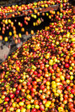 Coffee cherry Stock Images