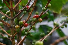 Coffee crop. Coffee bush branches with green and red berries after the rain Royalty Free Stock Image