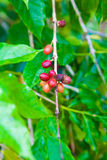 Coffee crop Stock Photography