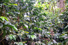 Coffee crop. In Salento, Colombia Royalty Free Stock Photo