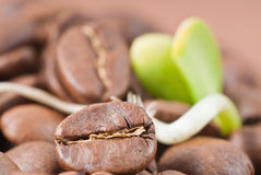 Coffee cultivated seeds royalty free stock photos