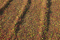 Coffee Drying at the Sun Royalty Free Stock Photos