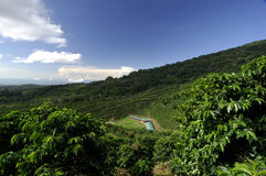 Coffee farm Royalty Free Stock Photography
