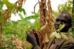 Coffee farmer. In Uganda picks coffee beans on one of his plantations Royalty Free Stock Image