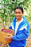 Coffee farmer is harvesting coffee berries Stock Image