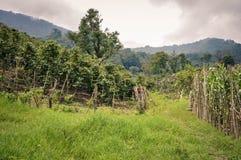 Coffee farms in San Luis de Planes, Honduras. Beautiful landscape of coffee farms in San Luis de Planes, by Santa Barbara National Park, Honduras. Central Royalty Free Stock Photography