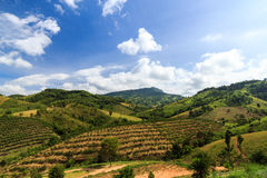 Coffee field. At khao kor Thailand Stock Photography