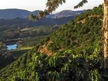 Coffee field Royalty Free Stock Photography