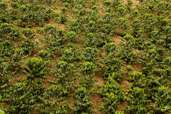 Coffee fields. Colombia Stock Images