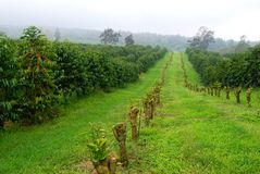 Coffee fields in mist. A plantation in Kona, Hawaii, home of King Kona coffee. Growing some of the best coffee cherries on earth Royalty Free Stock Photo