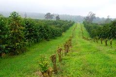Coffee fields in mist