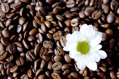Coffee flower. Studio Photo Coffee Flower in white Stock Photo