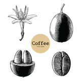 Coffee flower,Coffee bean hand drawing vintage clip art isolated. On white background stock illustration