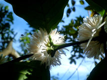 Coffee flower. This flower is coffee plant's flower along with sky and honeybee Royalty Free Stock Photos