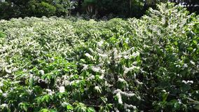 Coffee Flowering Costa Rica. Coffee plants in full bloom in the mountains of Costa Rica stock video