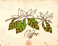 Coffee Flowers Stock Photography