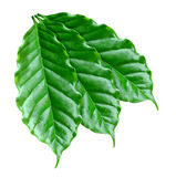 Coffee foliage Royalty Free Stock Photos
