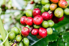 Coffee fruit branch. Arabica coffee fruit branch on coffee tree Royalty Free Stock Photos