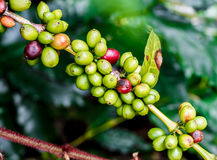Coffee fruit branch. Arabica coffee fruit branch on coffee tree Royalty Free Stock Photo