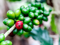 Coffee fruit branch 5 Royalty Free Stock Images