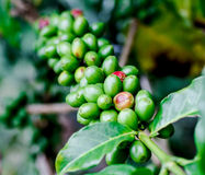 Coffee fruit branch 6 Stock Photo