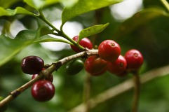 Coffee. Fruit in plantation, field, plantation , Brazilian , brazilian ,  plumbing in brazil, mature ,  in nature, red ,  grains Stock Photo