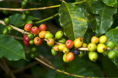Coffee. Fruit in plantation, field, plantation , Brazilian , brazilian ,  plumbing in brazil, mature ,  in nature, red ,  grains stock images
