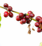 Coffee fruits on a branch. Royalty Free Stock Photo