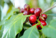 Coffee fruits on branch. Coffee fruits on a growing branch with green leaves Royalty Free Stock Photo