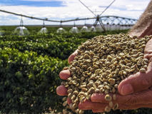 Coffee grains. Hands with coffee grains with a irrigated coffee Field in the background Royalty Free Stock Image