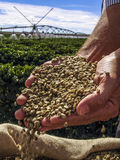 Coffee grains. Hands with coffee grains with a irrigated coffee Field in the background Stock Photography