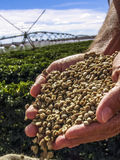 Coffee grains. Hands with coffee grains with a irrigated coffee Field in the background Stock Images