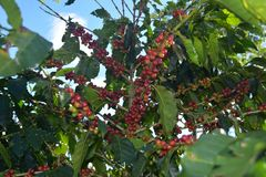 Coffee grains of varying degrees of ripeness on the branches of coffee bushes on a plantation in Costa Rica Stock Photography