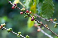 06 coffee guatemala tree Στοκ Εικόνες