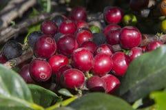 Coffee Harvest Stock Photography