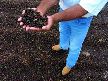 Coffee Harvest in Brazil Royalty Free Stock Photos