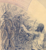 Coffee Harvesting. On 500 Shillings 1983 Banknote from Uganda Royalty Free Stock Photos