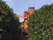 Coffee harvesting Stock Photography